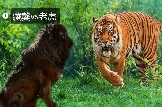 藏獒vs老虎图片1