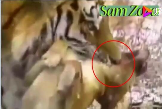 藏獒vs老虎图片2