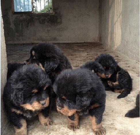 藏獒出售500元的图片3