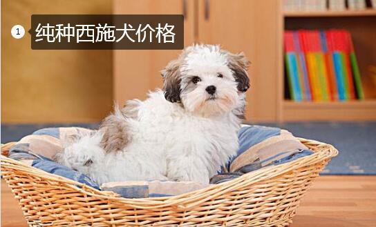 纯种西施犬价格图片1