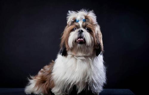 西施犬纯种图片2