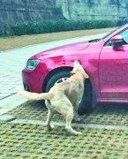 宠物狗对捷豹车撕咬40多分