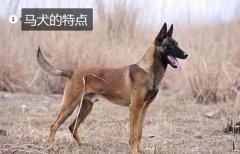 马狗、马狗是什么样的犬?