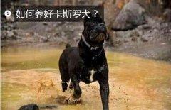 如何养好卡斯罗犬?