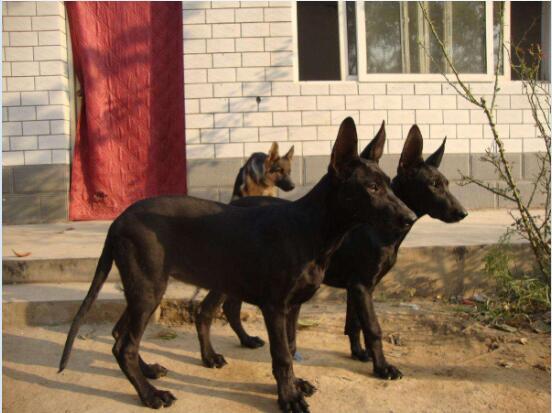 黑狼犬图片2