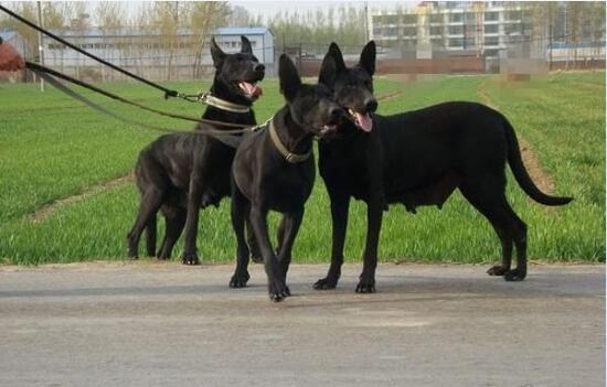 黑狼犬图片3