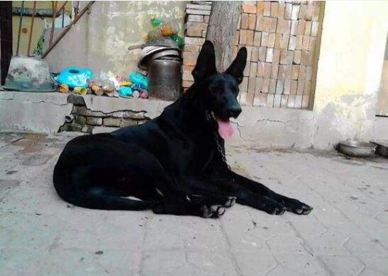黑狼犬图片5