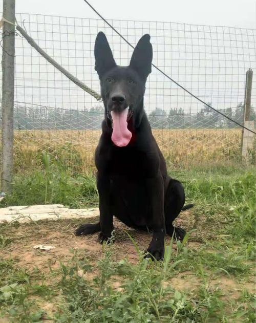 黑狼犬图片6
