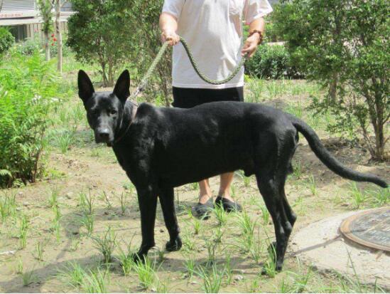 黑狼犬图片8