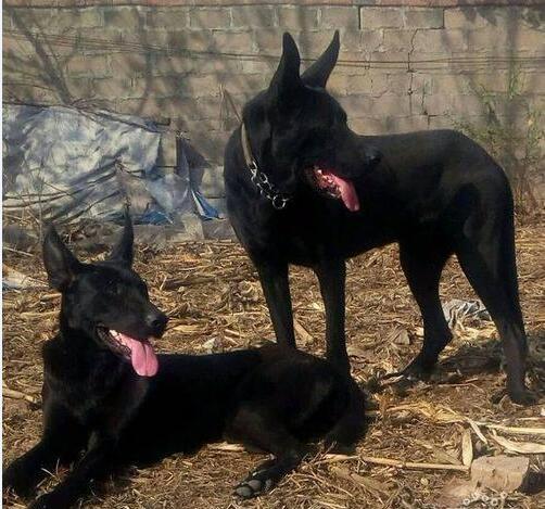 黑狼犬图片9