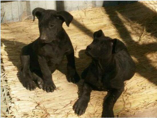 黑狼犬图片11