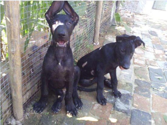 黑狼犬图片12
