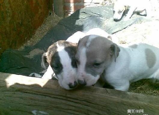 一个月大的灵缇幼犬图片7