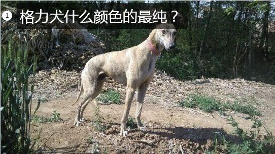 格力犬什么颜色的最纯?