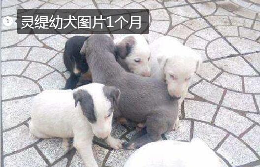 一个月大的灵缇幼犬图片1