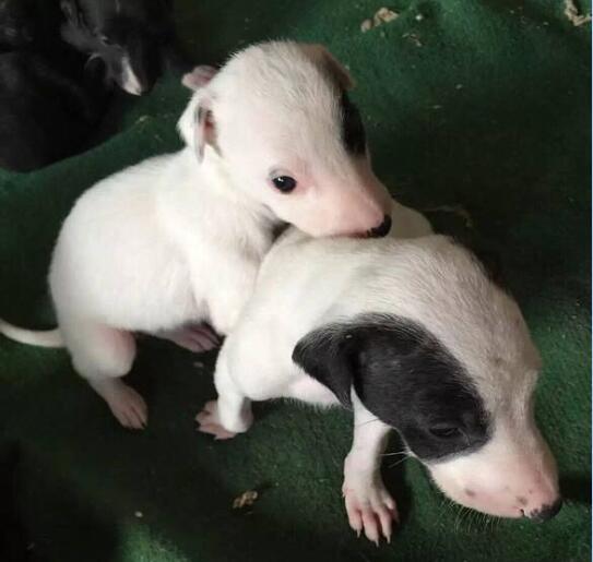 一个月大的灵缇幼犬图片2