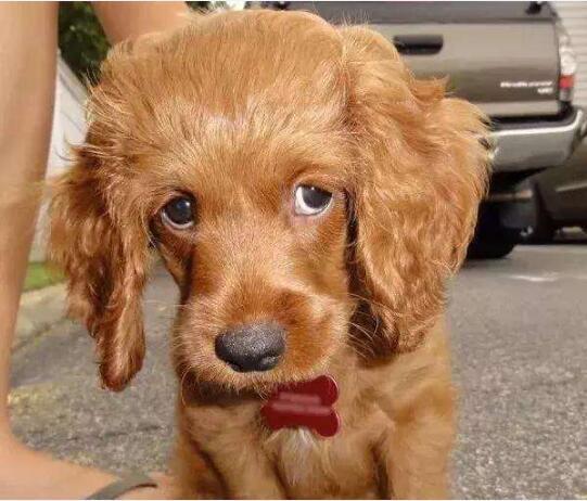 狗狗向你道歉的表现图6