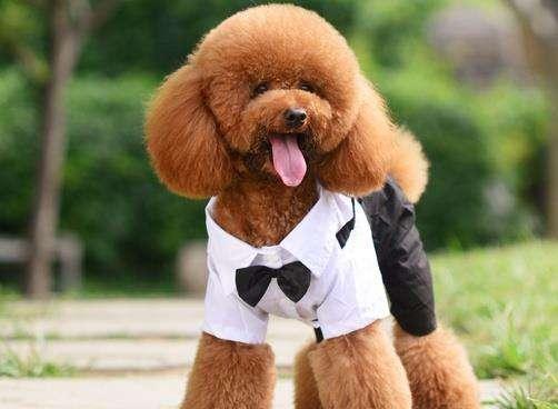 泰迪是贵宾犬吗