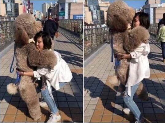 大型泰迪犬图片1