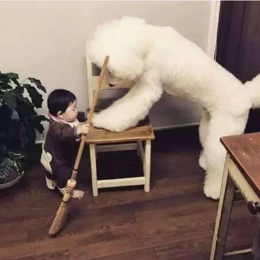 大型泰迪犬图片9