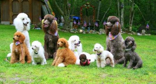 大型泰迪犬图片10