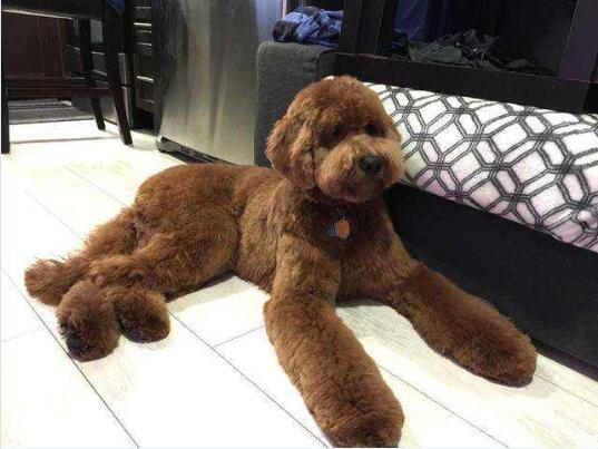 大型泰迪犬图片3
