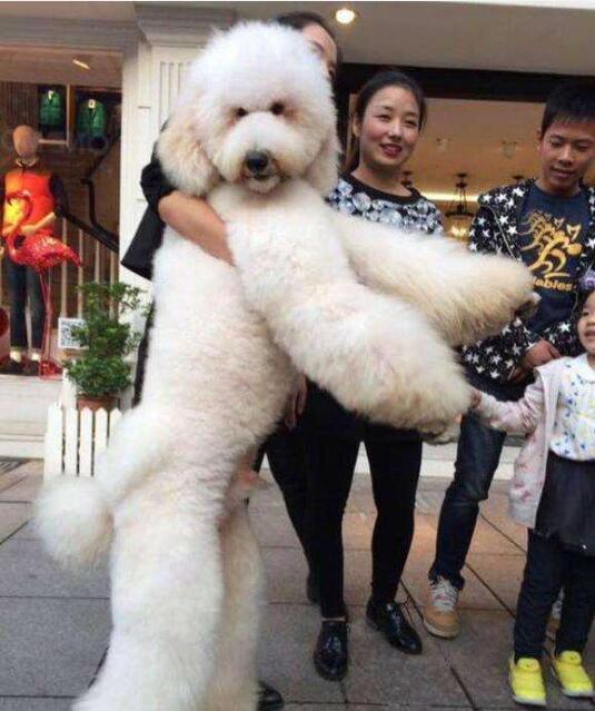 大型泰迪犬图片5
