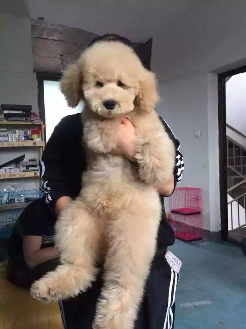 大型泰迪犬图片6