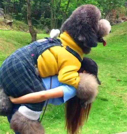 大型泰迪犬图片8