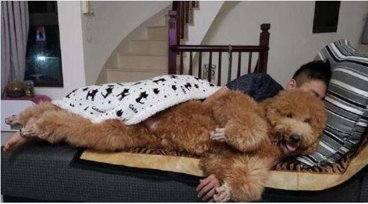 大型泰迪犬图片11
