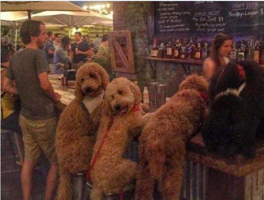 大型泰迪犬图片12
