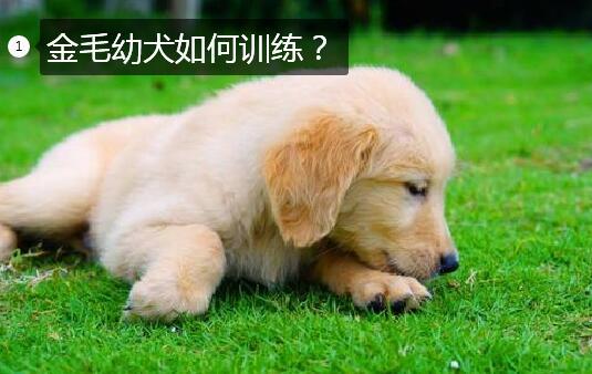 训练金毛犬图片1