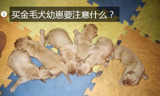 买金毛犬图片1