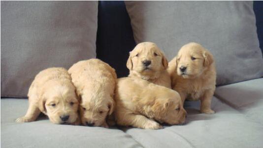 买金毛犬图片2