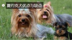 宠物狗约克夏、夏约克犬优缺点都有哪些?