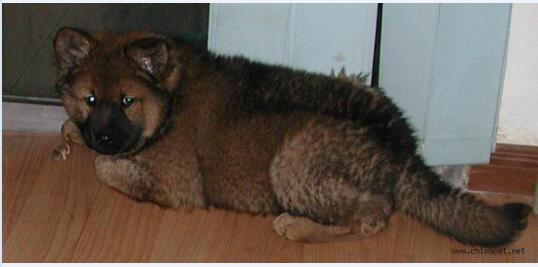 松狮串串图片3
