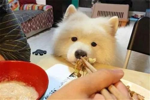 萨摩耶吃什么图3