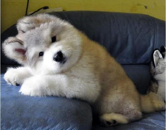阿拉斯加犬多少钱一只幼崽图1