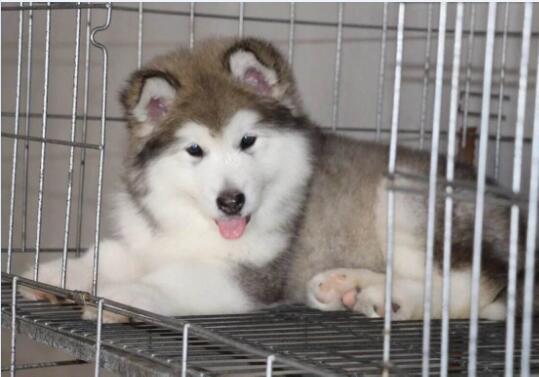 阿拉斯加犬多少钱一只幼崽图2