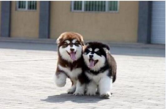 阿拉斯加犬多少钱一只幼崽图3