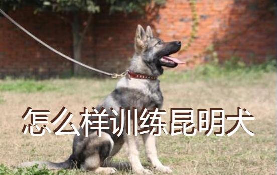 怎么样训练昆明犬图片1