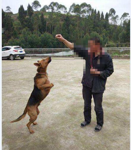 怎么样训练昆明犬图片3