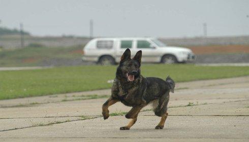 怎么样训练昆明犬图片4