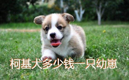 柯基犬多少钱一只幼崽图1