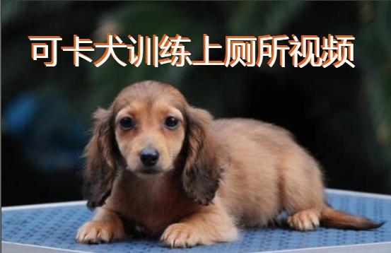 可卡犬训练上厕所图1