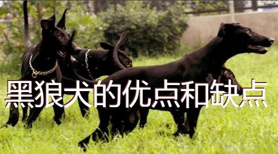 黑狼犬的优点和缺点图1