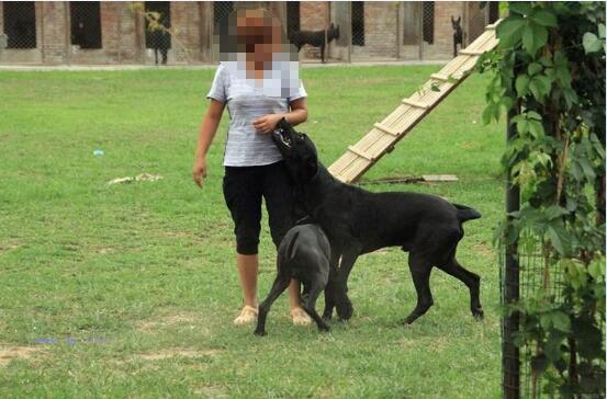 黑狼犬的优点和缺点图2