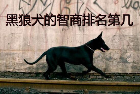 黑狼犬的智商排名第几图1