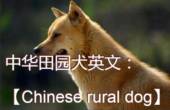 中华田园犬英文图1