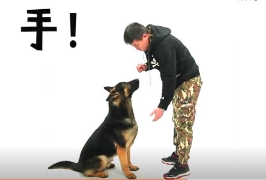 训练狗狗握手步骤图2